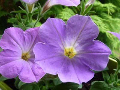 Fleurs du jardin mai 2012 008