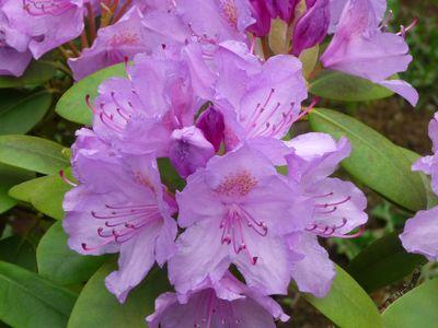 Fleurs du jardin mai 2012 014