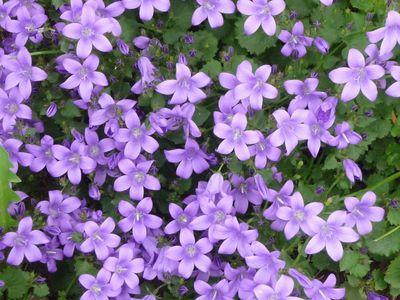 Fleurs du jardin mai 2012 013
