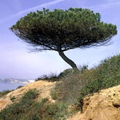 Pinuspinea 03
