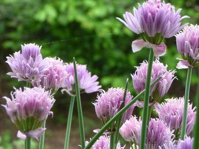 Fleurs du jardin mai 2012 016
