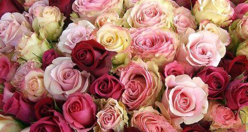Roses 1951748644_0ac436de2b_o.1297706001
