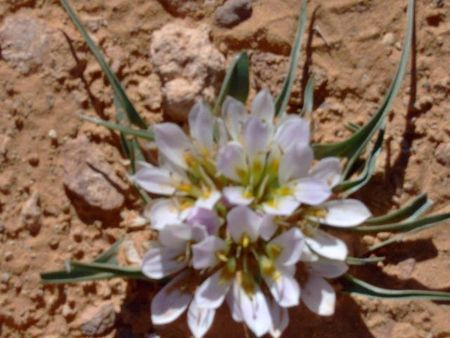 Petite fleur du désert542730_522784684431976_383146128_n