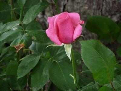 Rose du jardin 1